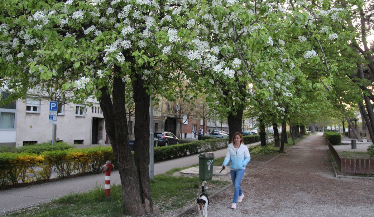 """""""Tombol"""" a tavasz, a fák már virágba borultak Sopronban Fotó: Németh Péter"""