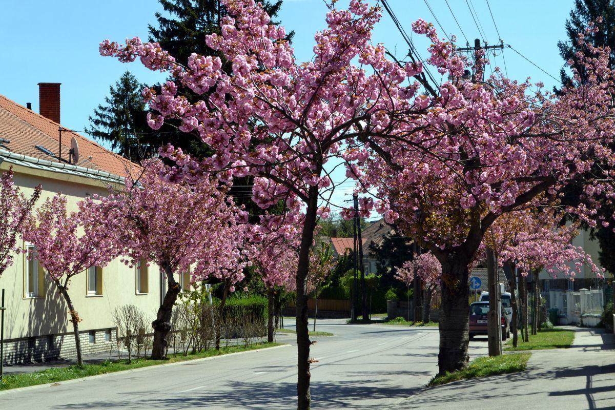 Nemcsak a körforgalmak növényei, hanem a fák is virágba borultak, akárcsak az Alsó-Lövérek egyik jelképe, a japán cseresznye Fotó: Pluzsik Tamás